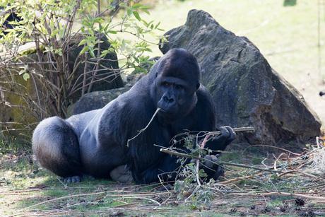 Westelijke laaglandgorilla