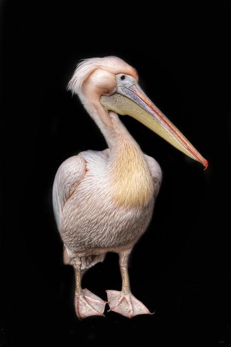 DSC08653-01 - Deze pelikaan stond er even mooi voor vanochtend in Bestzoo - foto door Angela9mei op 15-03-2020 - deze foto bevat: dierentuin, portret, vogel, pelikaan, pose, hdr, bestzoo