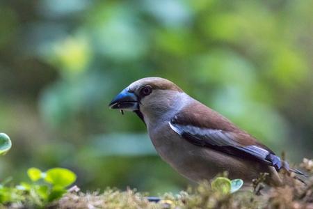 Appelvink... - 26 mei '18  Ik denk dat dit een vinken soort is, ik hoor graag van jullie welke vogel dit is.  Allemaal bedankt voor de reacties op de vorige fot - foto door yvonnevandermeer op 25-08-2018 - deze foto bevat: groen, lente, natuur, dieren, vogel, bos, voorjaar, nederland