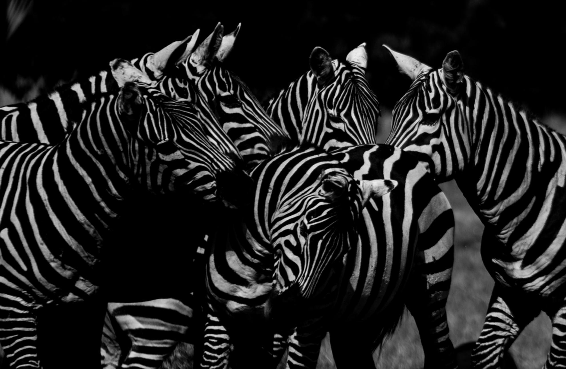White stripes - Foto is genomen in Uganda, de zebras kwamen zo ontzettend dichtbij. Echt op 3 meter afstand, zo een bijzondere ervaring. Dit clubje zebra's stond zo  - foto door brien1987 op 10-12-2016 - deze foto bevat: zebra, dieren, safari, afrika, wildlife, uganda, zebras, zwart wit