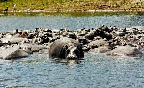 Hoopje Hippo