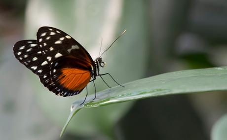 tja de naam van deze vlinder ......