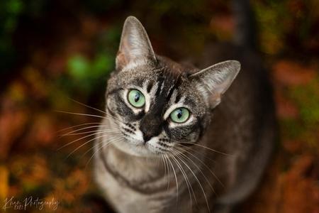 Poespoes in het bos (2) - Een rondje met Poespoes door het bos. Poespoes is een kruising bengaal x burmees. - foto door hannahvklompenburg op 03-01-2021 - deze foto bevat: kitten, natuur, poes, huisdier, kat, leeuw, tijger, wildlife