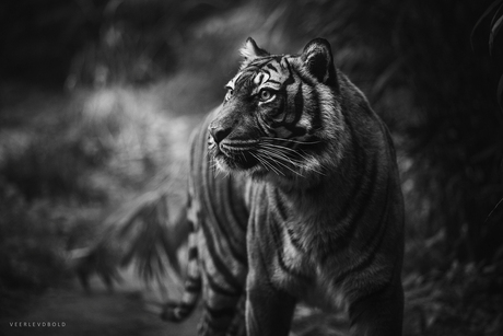 Tigerr