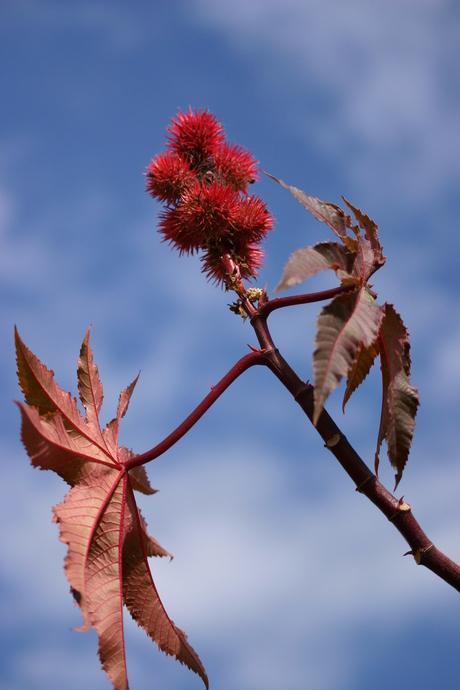 levende plant