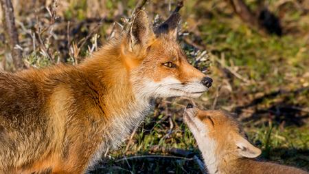 Welp en moeder - - - foto door RGJ-fotografie op 15-05-2020 - deze foto bevat: natuur, dieren, vos, awd, lief, mooi, wildlife, welp, schattig