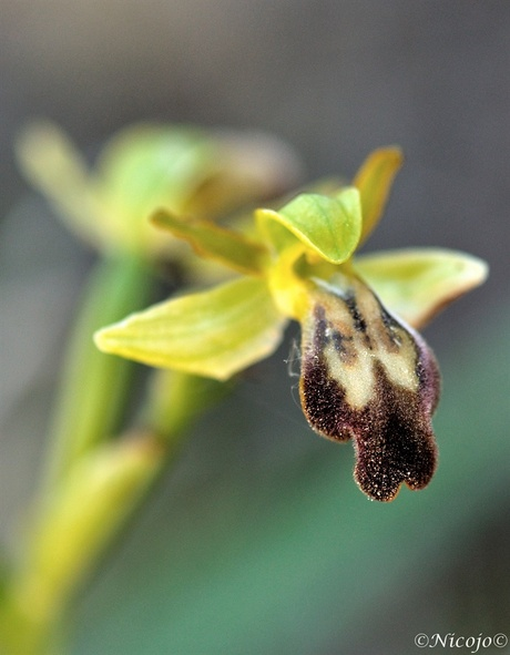 Ophrys fusca.