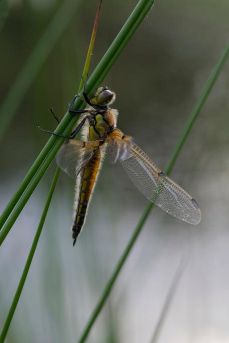 pechvogel libelle