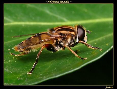 een zweefvlieg