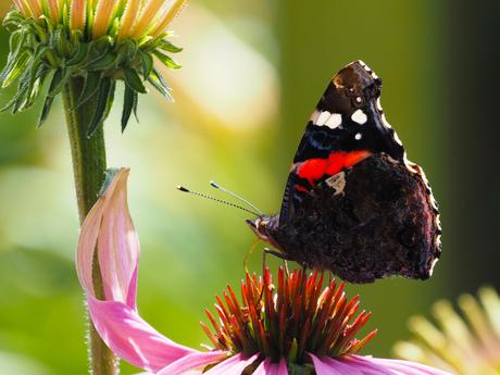 Prachtige vlinder deze Atalanta.