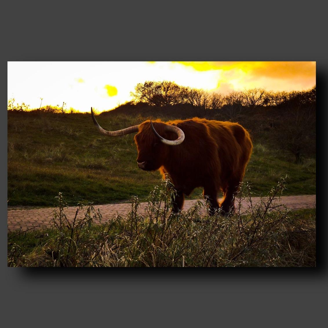 Schotse Hooglander - Schotse Hooglander - foto door pixelsbypriscilla op 22-11-2020 - deze foto bevat: natuur, koe, dieren, bos, duin, dutch, schotsehooglander, grazer, egmond, vee, animal, netherlands, b9s, bos duin