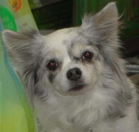 Mijn Chihuahua Lisa kijkt me zo liefdevol aan. Intratuin Arnhem, 29 Sept. 2018