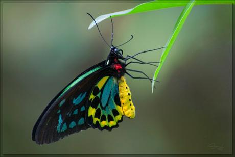 Vogelvlinder(Ornithoptera priamus)