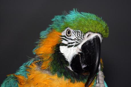 Indische Papegaai