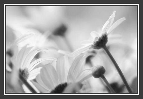Magrietjes in zwart wit
