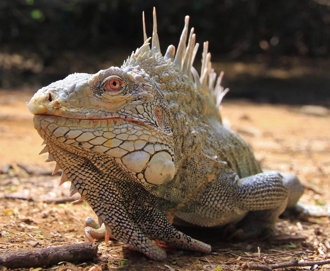Leguaan - Leguaan in Slagbaai Bonaire - foto door Anomalie op 12-01-2013 - deze foto bevat: leguaan, iguana