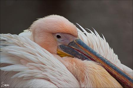 Pelikaan - Een pelikaan die aan het drogen is na een duik in het water. - foto door frostwood op 10-02-2013 - deze foto bevat: roze, dieren, pelikaan, drogen