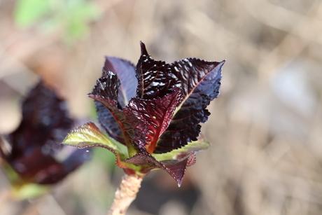 Hortensiablad