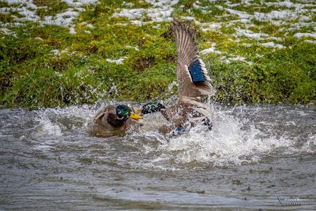 Fight of the ducks