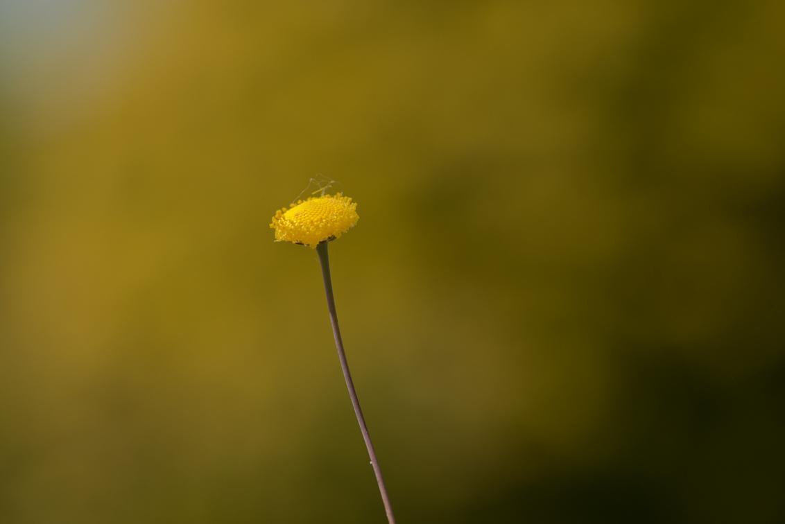zeeuws knopje - De rustige versie .. groetjes Detty  PS ik ben zo slim geweest om mijn vorige foto's niet aan de groep toe te voegen...inmiddels alsnog gedaan...H - foto door dettyverbon op 22-05-2014 - deze foto bevat: macro, bloem, natuur