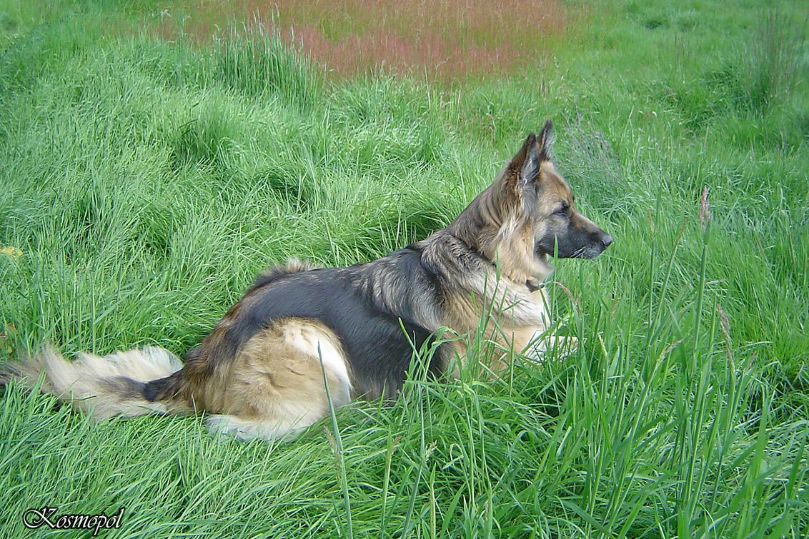 Bewerking Tessa - OK ben het er mee eens. Bovenkant weggecropt. Ik wilde wel minimaal een 2/3 verhouding behouden en om Tessa op een kompositorisch aanvaardbare plaats - foto door kosmopol op 17-01-2011 - deze foto bevat: gras, hond, herder