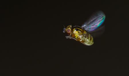 halmvliegje in vlucht - halmvliegje in vlucht, altijd weer een leuke uitdaging. - foto door Ferdinandus op 22-04-2018 - deze foto bevat: macro, natuur, vlieg, klein, vlucht, 2mm