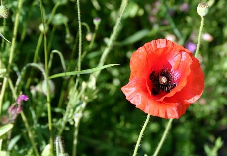 poppyseed.jpg