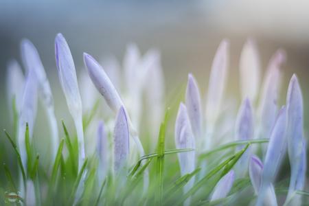 Crocussen - Weer een foto uit mijn oefenserie m.b.t. scherpte diepte. Ook hier heb ik geprobeerd om deze zo klein mogelijk te houden en de foto een zachte tint m - foto door rckohnke op 26-02-2017 - deze foto bevat: groen, macro, bloem, lente, natuur, tuin, blad, landschap, mist, voorjaar, nederland, overijssel, crocussen, lichtinval, olst