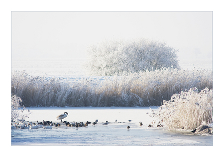 Vogels op het ijs! - Erg mooi hoe die eenden en ganzen op het stukje open water vertoeven. - foto door diana2206 op 10-01-2009 - deze foto bevat: eenden, winter, ganzen, diana2206