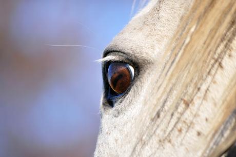 paardeoog