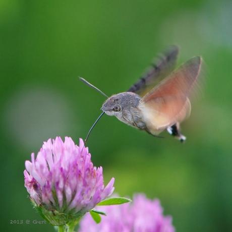 Kolibrievlinder ...