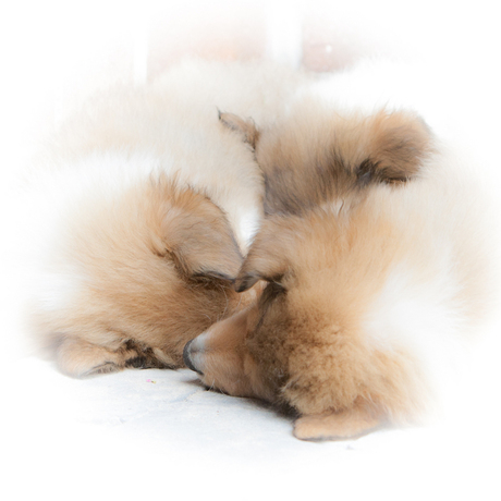 Sleeping Puppy's
