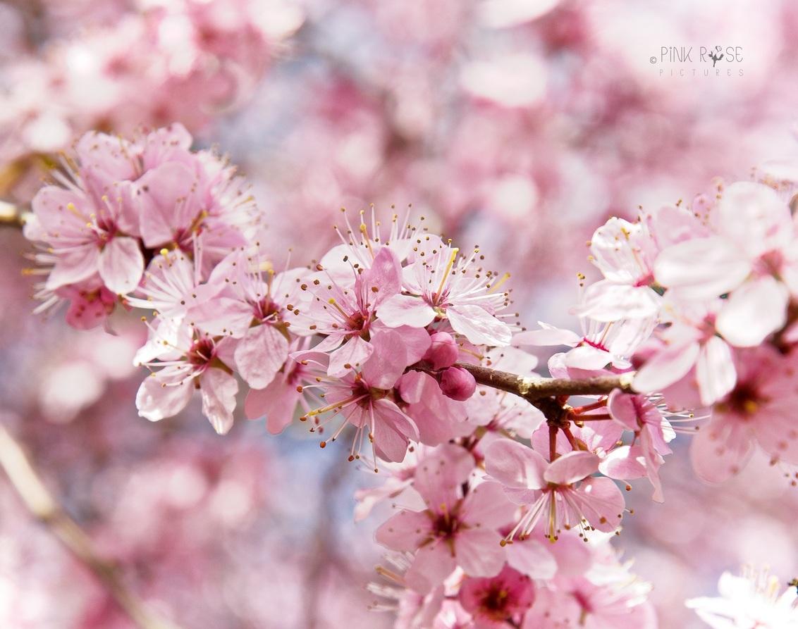 Zoete bloei - Zoete bloei...  Dank voor de comments bij de vorige upload. Nu een foto van de bloesem. Lekker roze :-)  Lfs Marieke - foto door PinkRosePictures op 05-04-2021 - deze foto bevat: roze, bloem, lente, natuur, bloesem