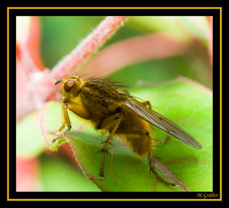 strontvliegen (Scathophaga stercoraria)