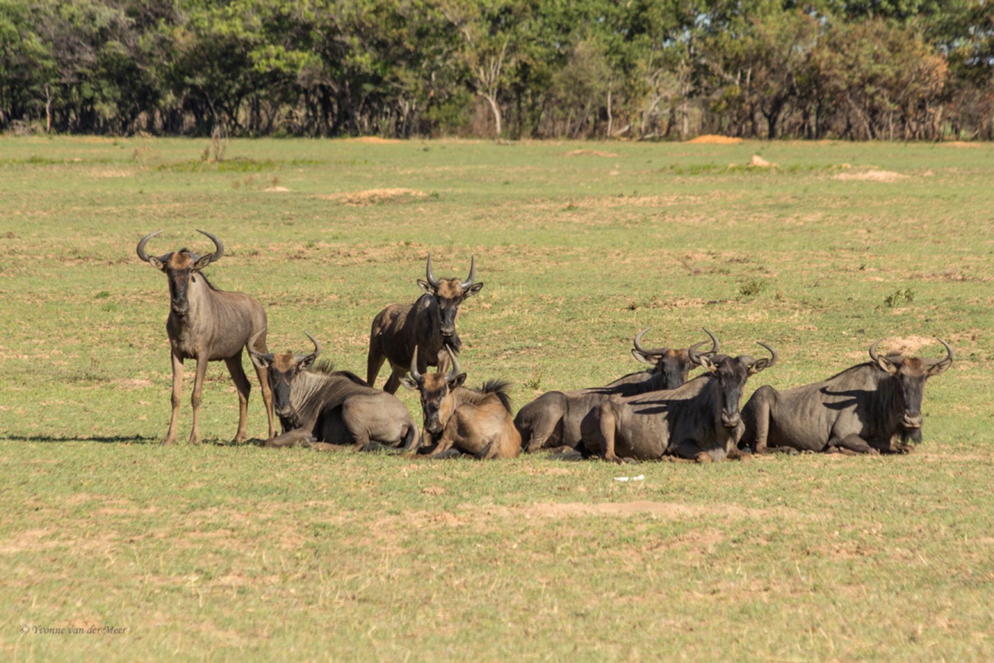 Gnoes... - Hier dan de eerste beesten van mijn fotoavontuur in Zuid-Afrika. Hier een groepje Gnoes of Blouwildebeest op z'n Zuid-Afrikaans. Dit is in het Enta - foto door yvonnevandermeer op 13-02-2016 - deze foto bevat: natuur, dieren, safari, gnoe, afrika