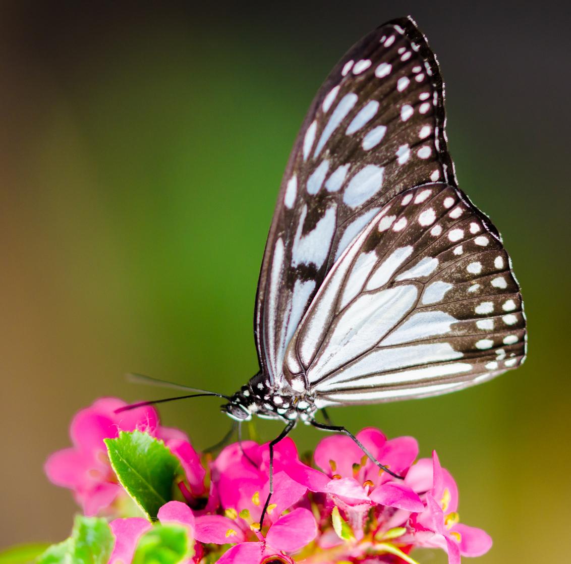 Zwart Wit pracht - dit is voorlopig de laatste uit de vlinder serie.  :):););)Alle Zoomers Bedankt voor alle reacties op de vlinder serie :):););).   het woord weer - foto door sipmaurer op 27-06-2015 - deze foto bevat: roze, groen, paars, macro, wit, bloem, lente, natuur, vlinder, oranje, zwart, vlindertuin, dof