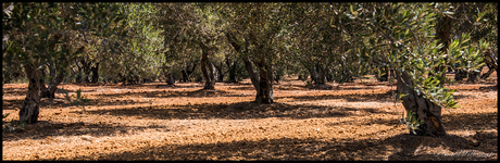 under the olivetrees