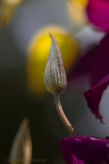 Project I, Licht - Ik vond het net een kaarsvlammetje. Met een béétje fantasie... - foto door brinkbeest op 30-06-2013 - deze foto bevat: natuur, licht, clematis, bloemen, project I