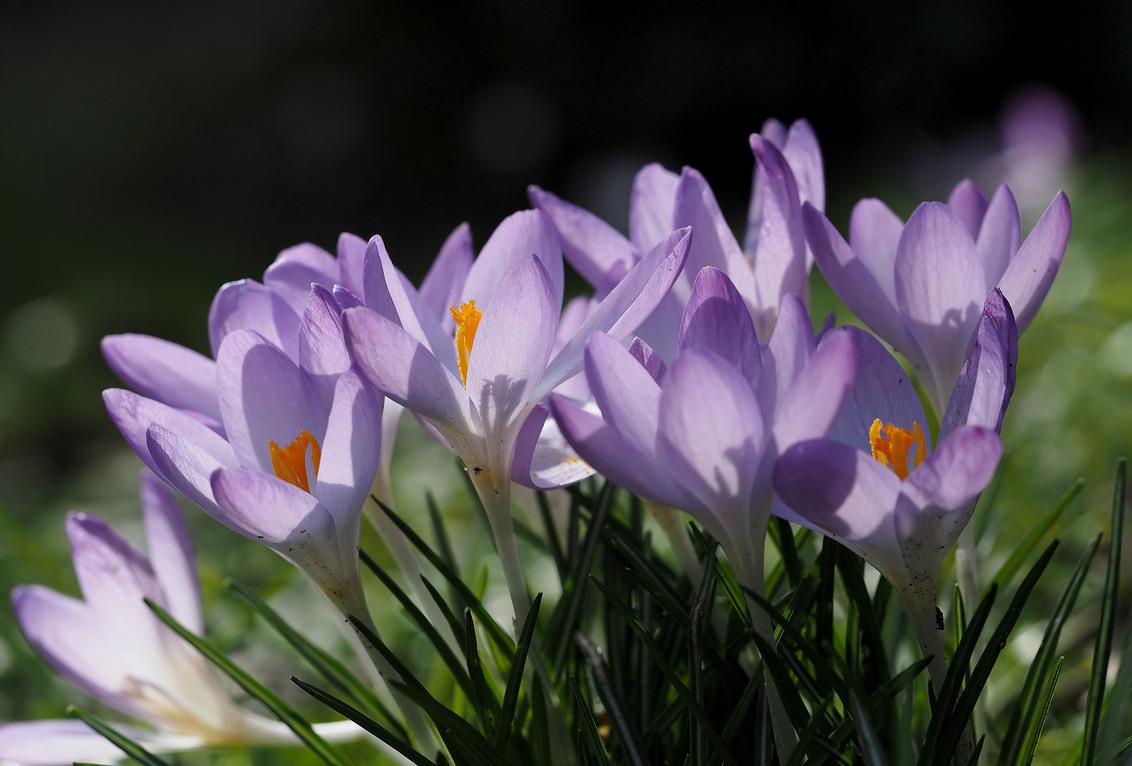 Intens..... - Mooi.... Het geeft weer de start, van al het moois - foto door pietsnoeier op 28-02-2014 - deze foto bevat: kleur, macro, natuur, voorjaar, dof, krokussen
