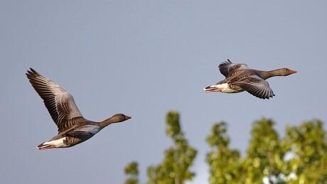Vliegende Grauwen Gans