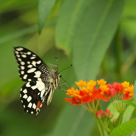 Papilio demoleus
