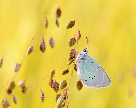 Bloemenblauwtje