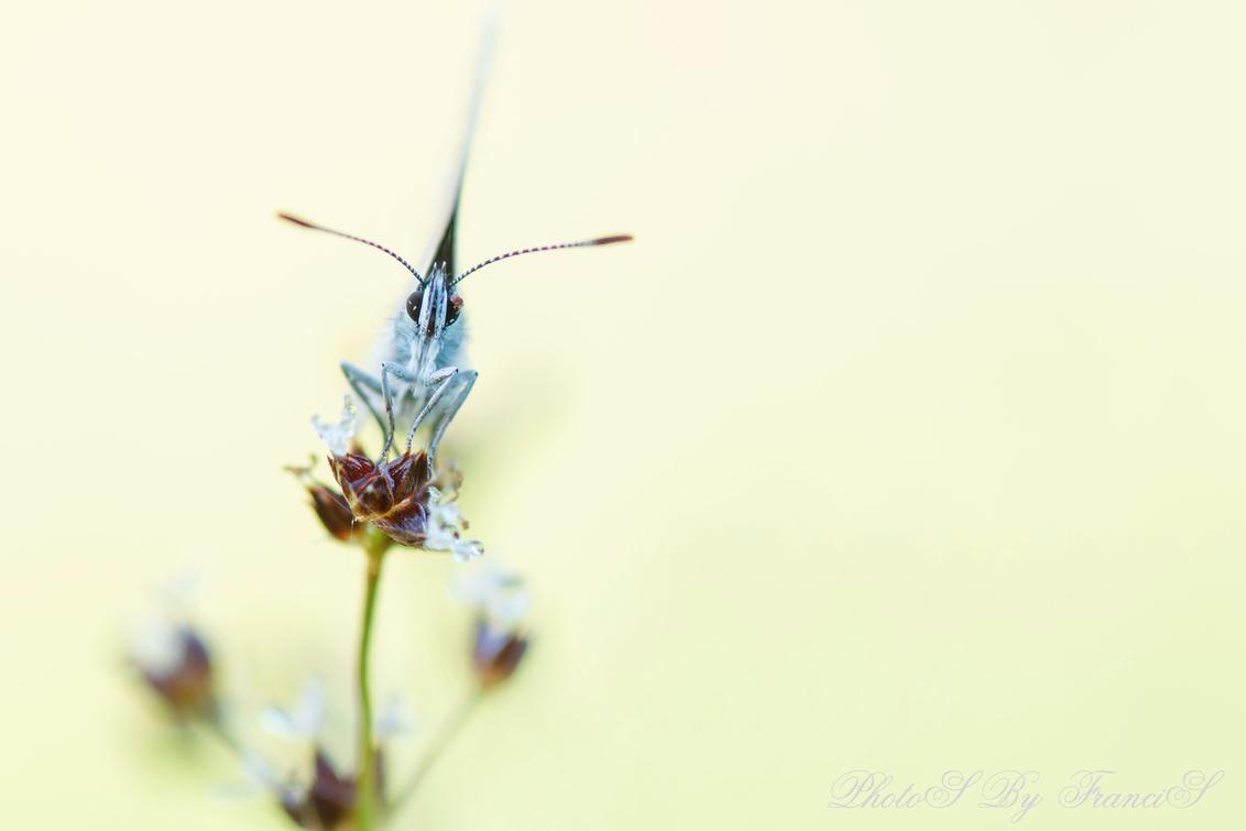 Teek vindt zelfs vlinder. - Terug van een heerlijke vakantie op Texel, wat een prachtig eiland is het. Bij mijn vorige foto had ik vermeld dat de vlinder een teek op het oog had - foto door Francis-Dost op 21-07-2018 - deze foto bevat: macro, bloem, natuur, vlinder, geel, licht, zomer, insect, dauw, dof