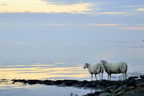 Ik zag twee schapen pootje baden...