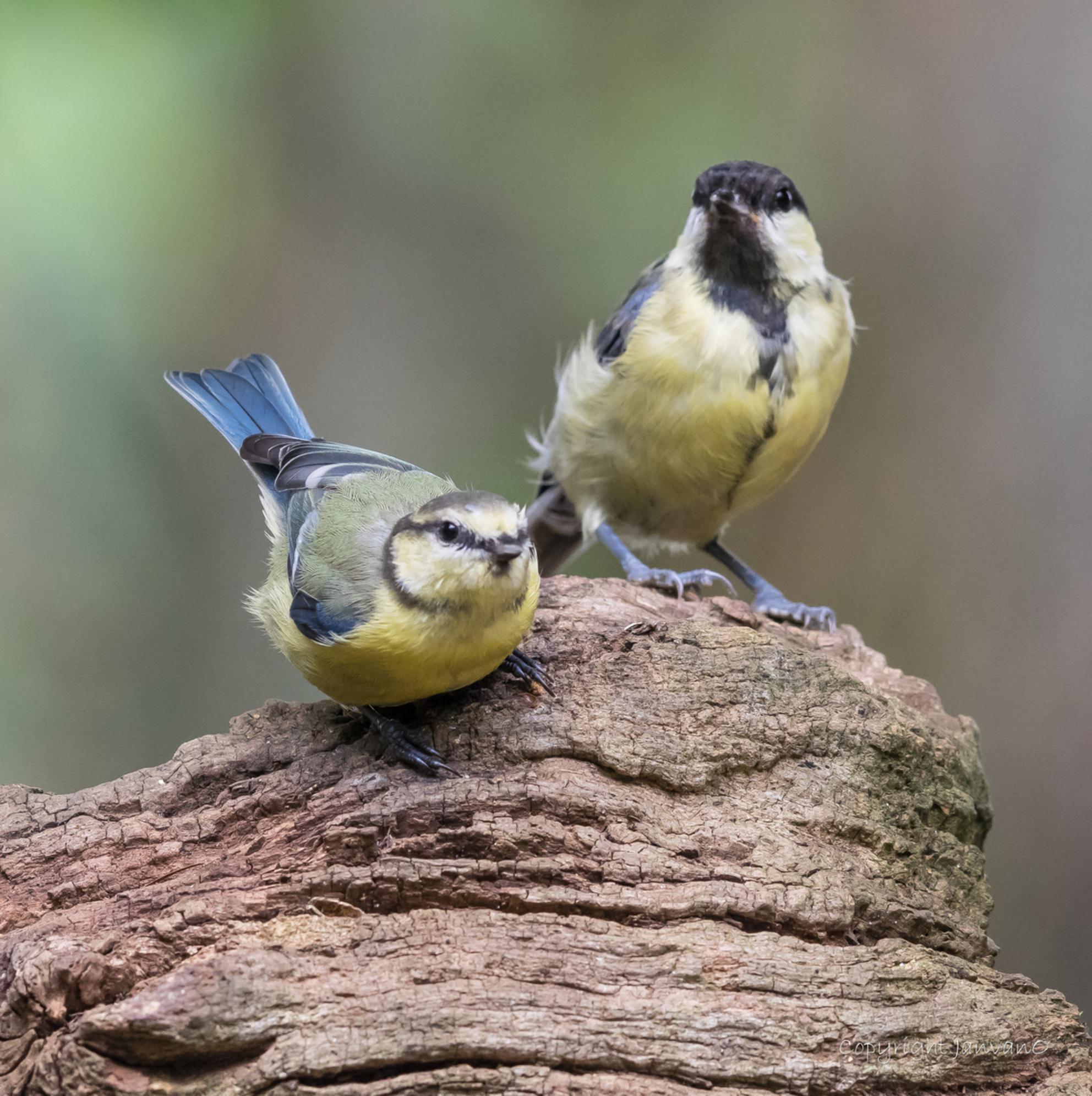 Pimpel en Koolmees - - - foto door JanvanO op 03-08-2019 - deze foto bevat: vogel, pimpelmees, koolmees, heeze, janvano, Strabrechtse heide, zuiko 300mm, olympus omd-em1