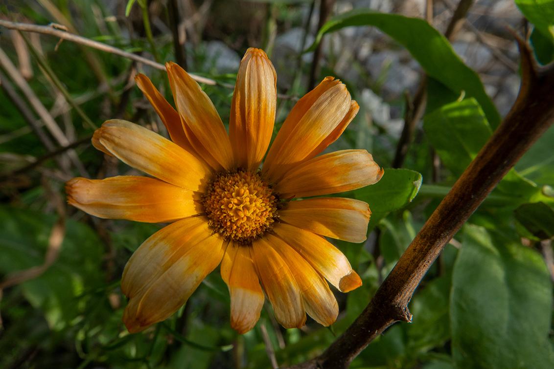 Bloem... - Nog een probeersel met het Marumi-macrofilter. Geen idee wat voor bloem dit is, maar de zon was zo vriendelijk er van de zijkant af een beetje licht - foto door PeterKosterHT op 31-10-2020 - deze foto bevat: zon, bloem, natuur, licht, oranje