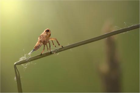 Cicade nimf
