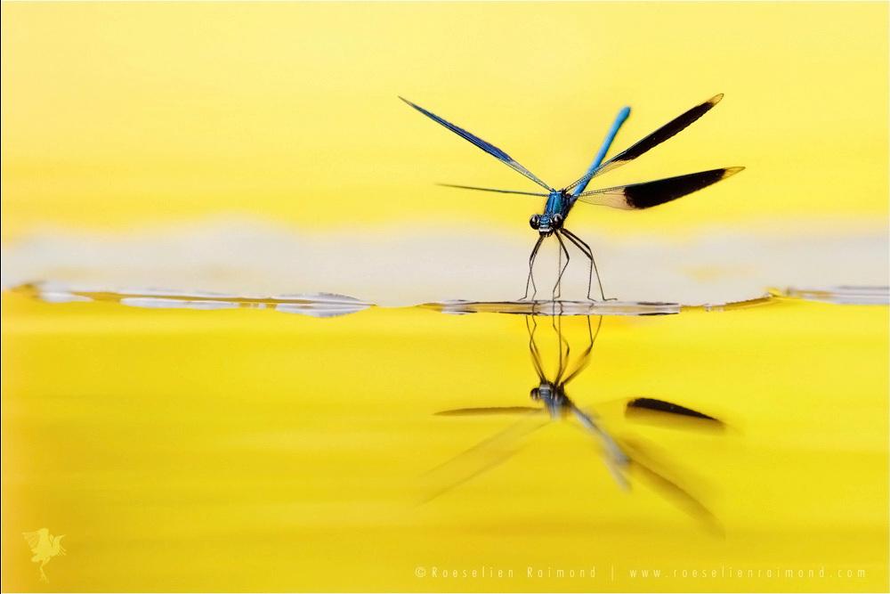 Rivierplezier - Meer zin & onzin over weidebeekjuffers[url=https://roeselien.wordpress.com/2015/07/26/112/]Rivierplezier[/url] - foto door thrumyeye op 26-07-2015 - deze foto bevat: macro, water, natuur, licht, waterjuffer, spiegeling, reflectie, insect, weidebeekjuffer, bokeh, natuurfotografie, Calopteryx splendens