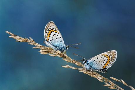 Heideblauwtje 4