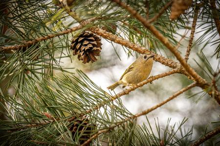 Goudhaantje - Klein goudhaantje in de dennenboom. Lastig om te fotograferen, omdat het zo ontzettend klein is, maar gelukkig ben ik niet voor één gat te vangen. ;) - foto door Alex-Maas1 op 31-03-2021 - deze foto bevat: natuur, vogels, dieren, vogel, brabant, takken, nederland, wildlife, dennenappel, fotografie, dennenboom, goudhaantje, bokeh, landschotse heide